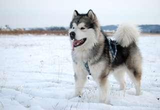 Cách huấn luyện chó Alaska nghe lời tại Tphcm