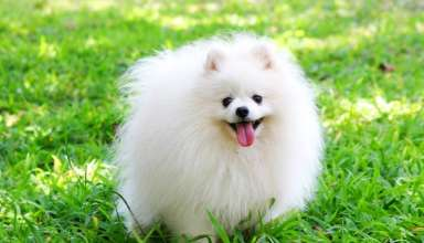 Hướng dẫn nuôi và chăm sóc chó Phốc Sóc