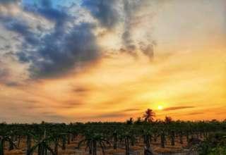 """Vườn thanh long Bình Thuận đẹp lịm tim khiến giới mê """"sống ảo"""" đứng ngồi không yên"""